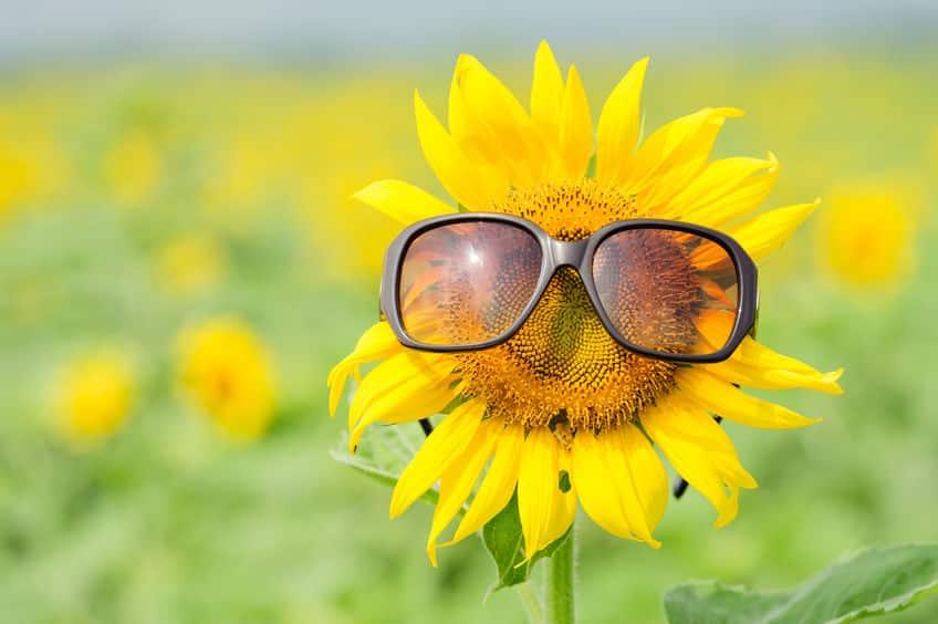 「ひまわりは太陽の方を向く」は本当か?に関する雑学
