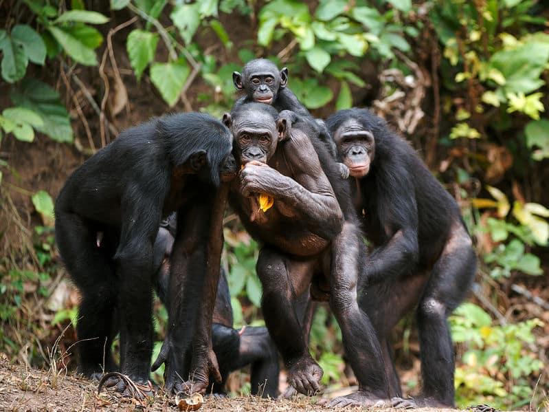 チンパンジーの共食いに関する雑学
