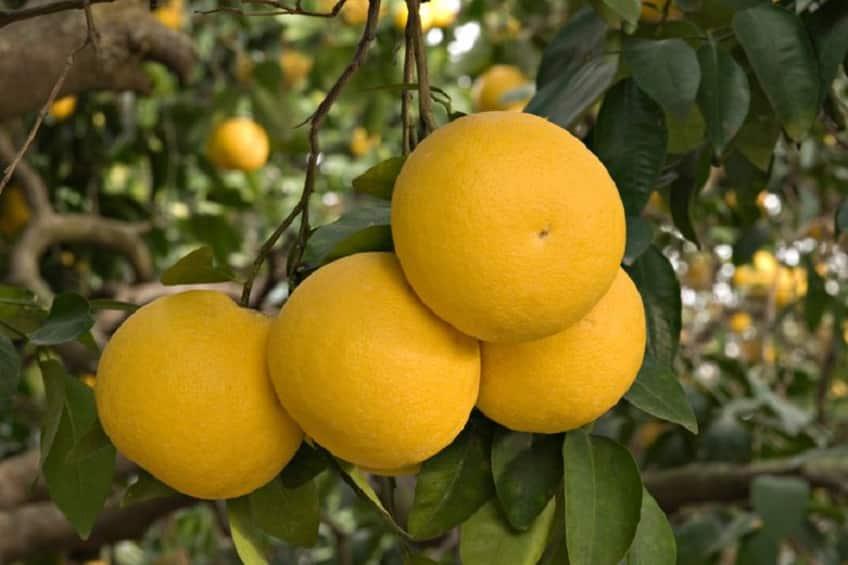 グレープフルーツの由来に関する雑学