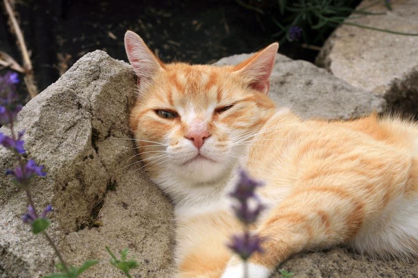 ネコにマタタビを与えるとなぜ酔ったようになるのか?に関する雑学