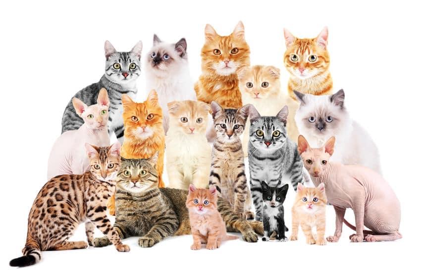 世界で最も長い猫に関する雑学