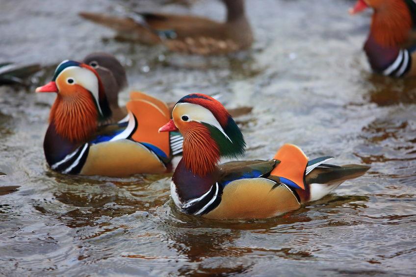 おしどりは浮気する鳥という雑学