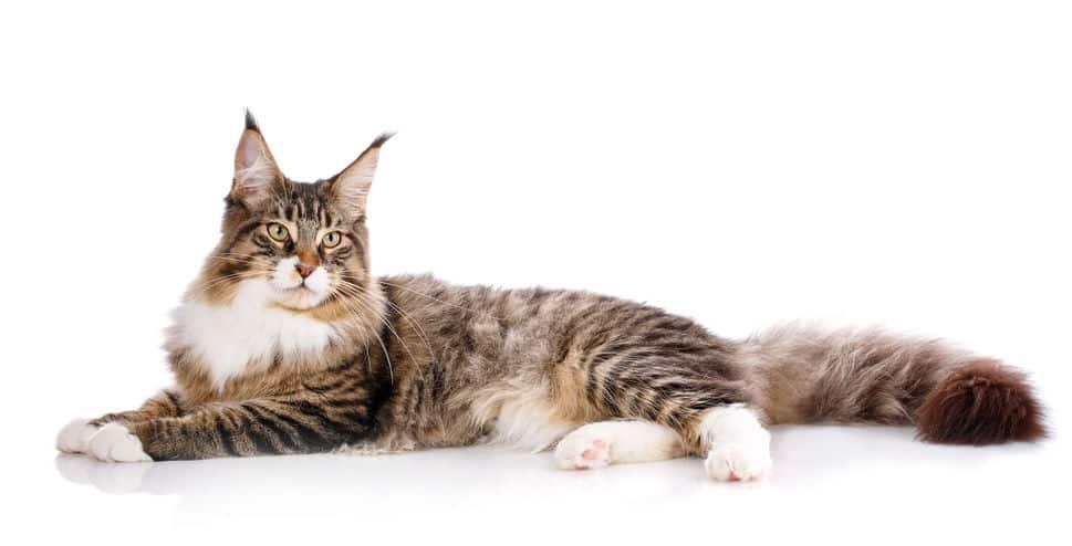 世界一大きな猫「メインクーン」