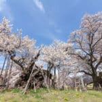 日本で一番古い「神代桜」は樹齢2000年という雑学