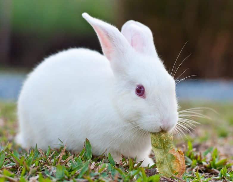 ウサギは味を感じる器官が人間の倍近くあるというトリビア
