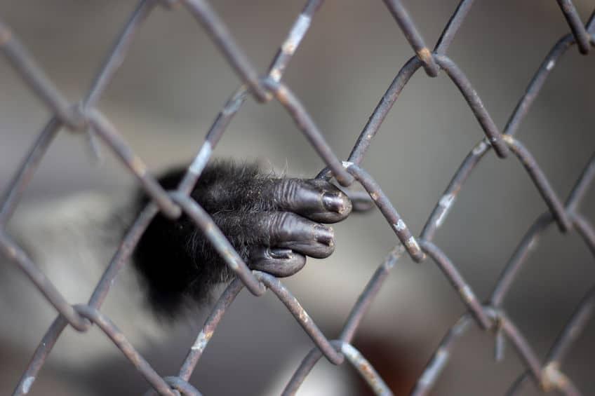 チンパンジーが人間を襲ったケースに関する雑学