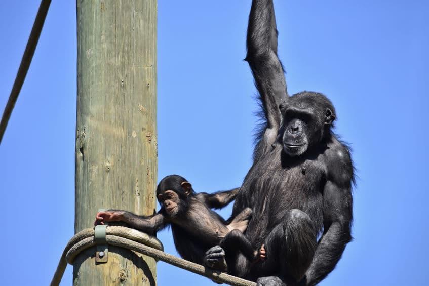 チンパンジーと「共食い」の関係に関する雑学