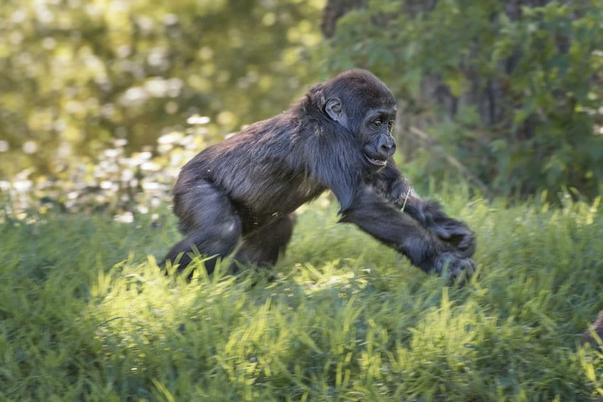 「チンパンジーと共食い」の雑学まとめ