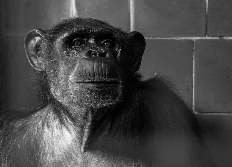チンパンジーが共食いをする理由に関する雑学