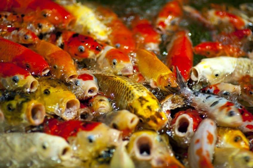 鯉や金魚が水面で口をパクパクさせる4つの理由に関する雑学