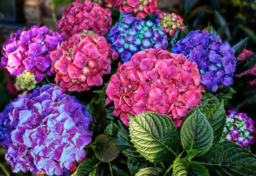 アジサイは植えている場所によって色が変わるという雑学