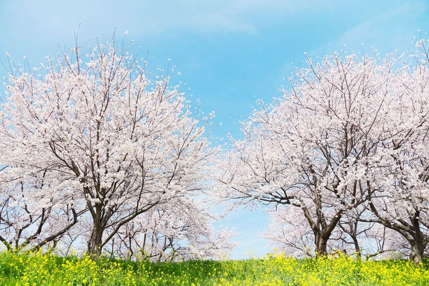 桜の開花には「600℃の法則」という目安があるということに関する雑学