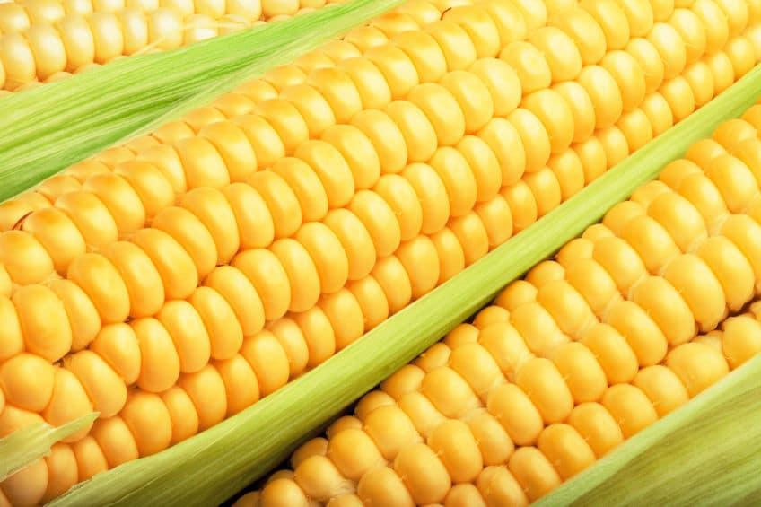 トウモロコシの粒の数が偶数になる理由についてのトリビア