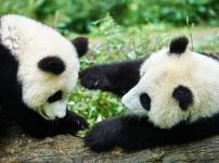 パンダは双子を産む確率が高いが1頭しか育てないという雑学