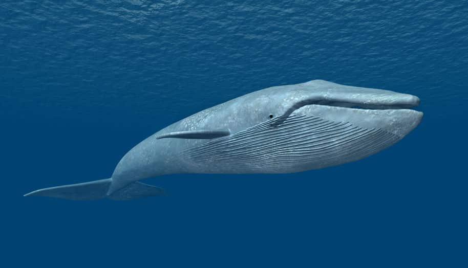 シロナガスクジラは地球最大の動物で、心臓は軽自動車くらいあるという雑学