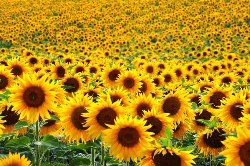太陽の方を向いている?ひまわりがそろって咲いている理由についてのトリビア