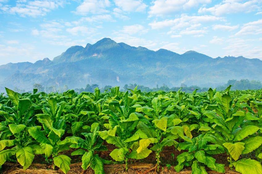 世界中に広がるタバコの栽培と喫煙文化についてのトリビア