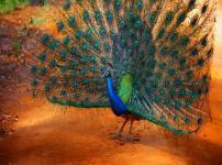クジャクは沖縄では害鳥という雑学