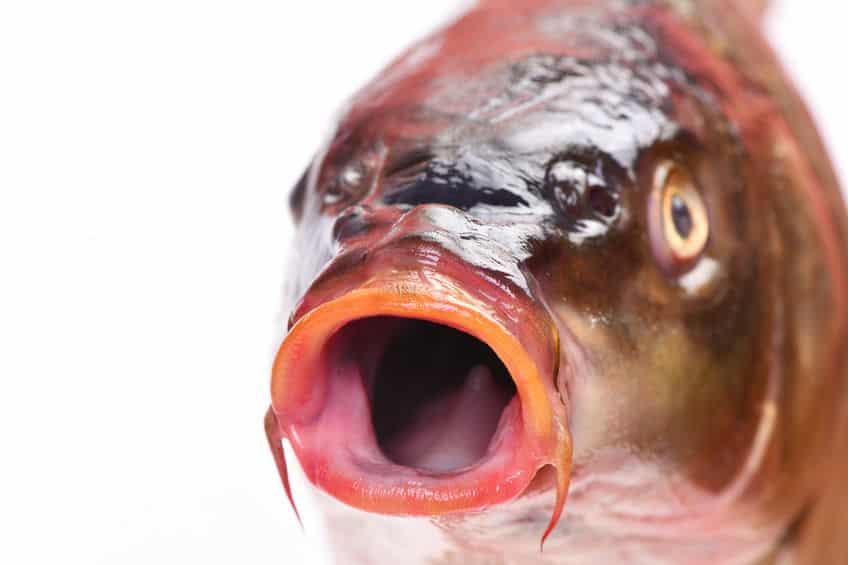 鯉や金魚が弱ってきたらまずは塩浴についてのトリビア