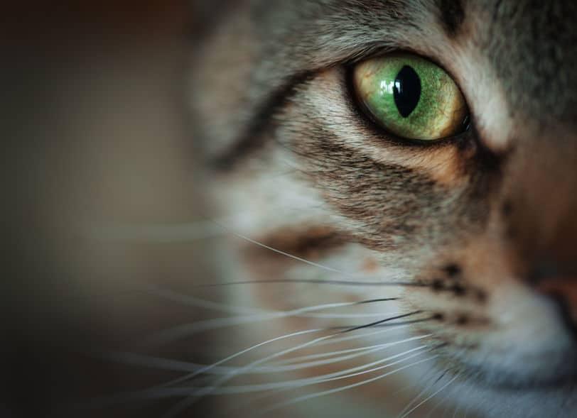 猫の視力はどのくらいあるのか?というトリビア