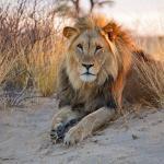 ライオンのオスはヒモという雑学
