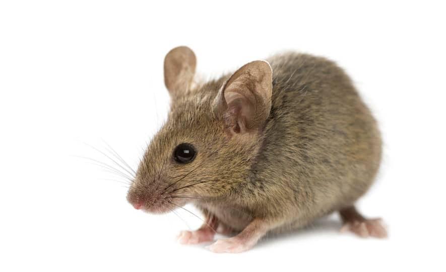 動物裁判でネズミに出頭命令!?というトリビア