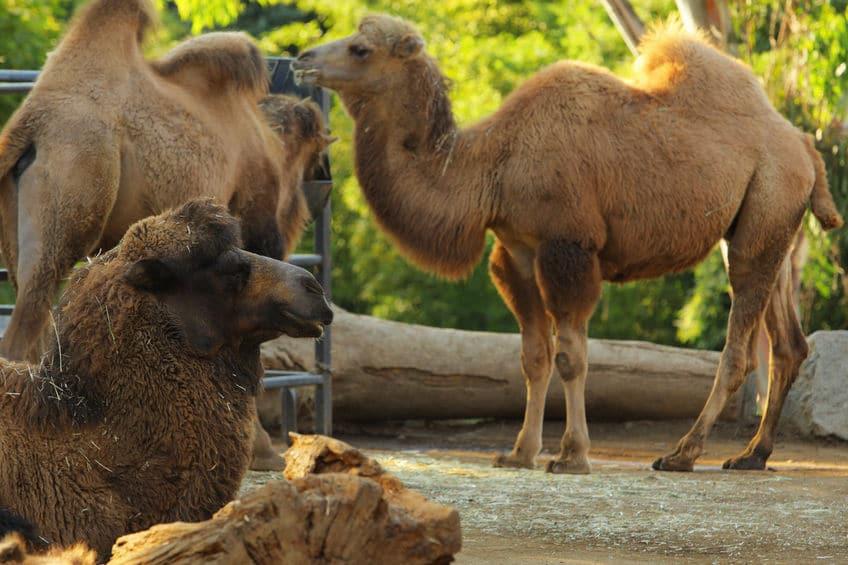 ラクダのこぶは脂肪!についてのトリビア