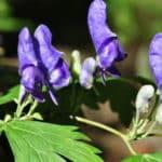 毒草「トリカブト」の花言葉は?に関する雑学