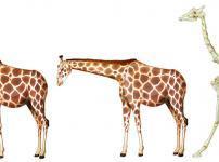 キリンの首の骨の数は、人間の首の骨の数と同じという雑学