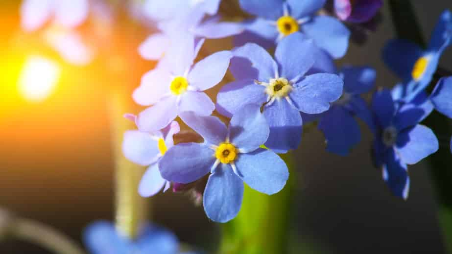 勿忘草の花言葉が切なすぎるという雑学