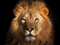 新たな群れのボスとなったライオンはその群れのライオンを皆殺しにするという雑学
