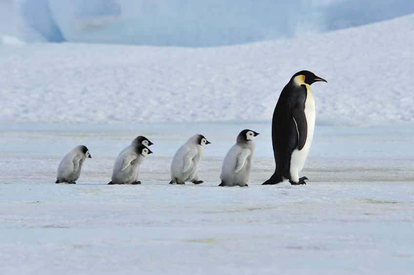 ペンギン行列の理由は生存本能についてのトリビア