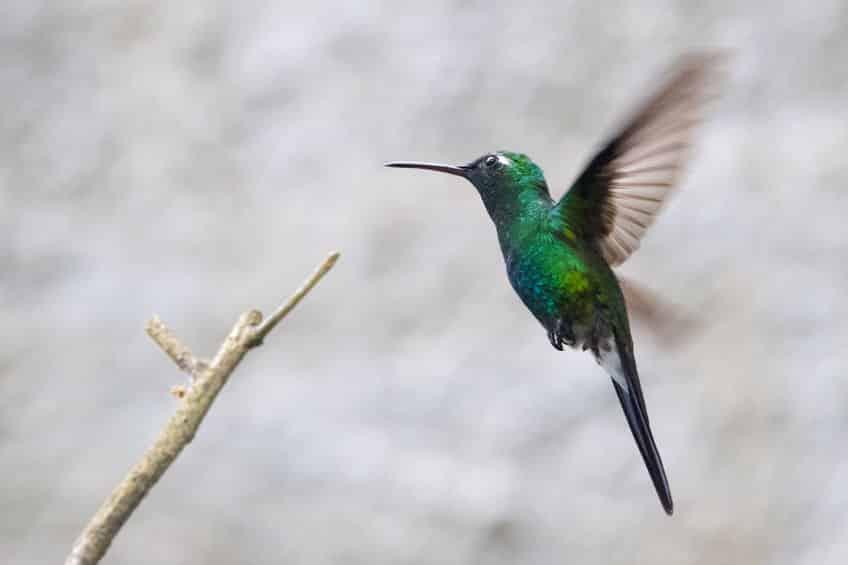 世界最小の鳥は「マメハチドリ」に関する雑学