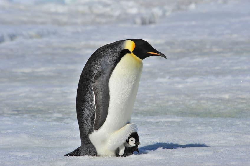 南極で子育てをするペンギンは2種類しかいないというトリビア