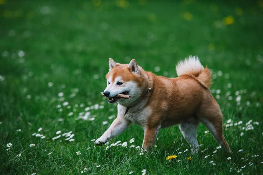 柴犬は天然記念物という雑学