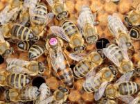 女王蜂がいなくなるとどうなる?という雑学