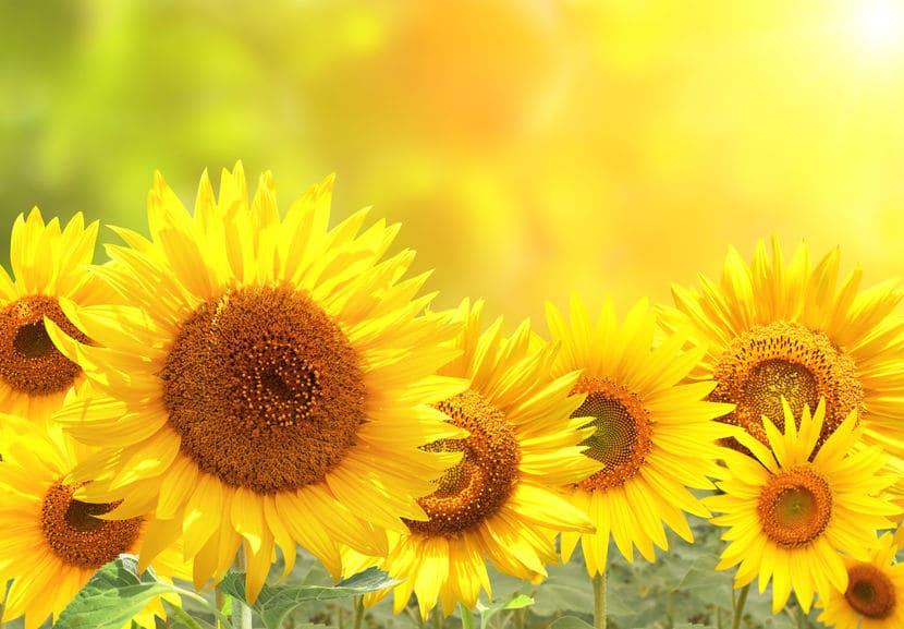 ひまわりが太陽の方を向くのは蕾をつけるまでだったというトリビア