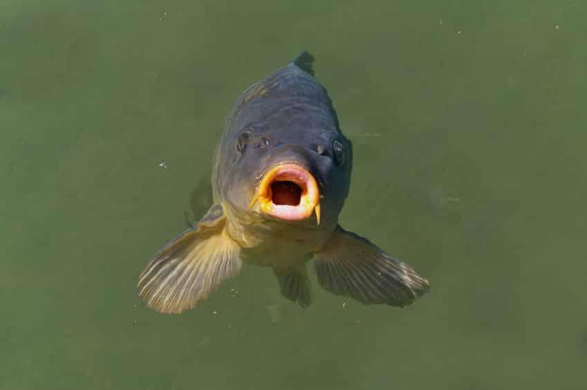 鯉や金魚の口パクパクには4つの理由があるというトリビア