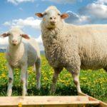 世界初の輸血は、羊の血を使ったという雑学