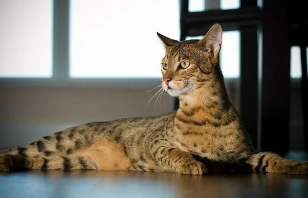 超高級な猫「アシェラ」についての雑学