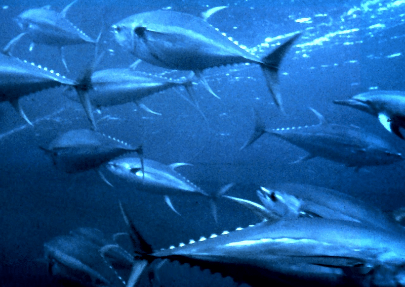 「魚」に「有」でマグロと読む理由についてのトリビア