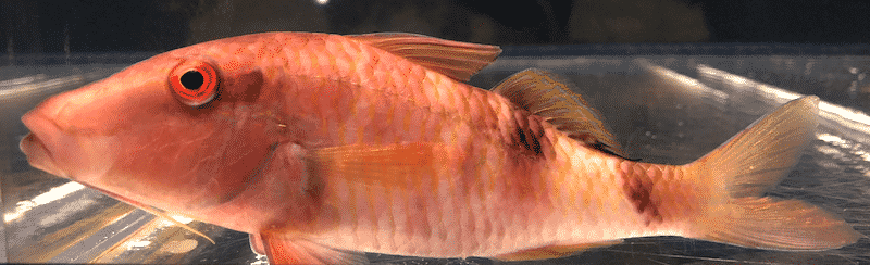 オジサンという魚に関する雑学
