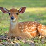 鹿が人間を殺す数はワニやクマなどよりも圧倒的に多いという雑学