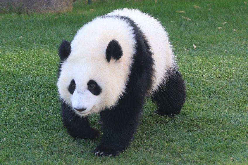そもそもパンダになぜ笹が向いていないのかというトリビア