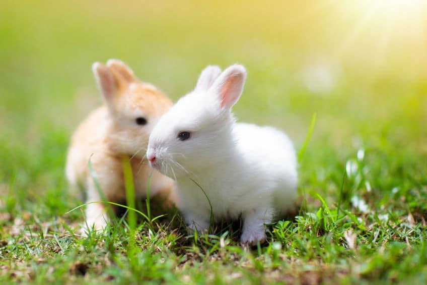 小学校で飼えなくなったウサギを放ったのが始まり?というトリビア