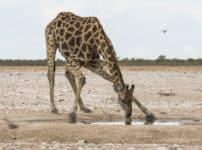 キリンの蹴りは自動車を横倒しにするほどの威力があるという雑学