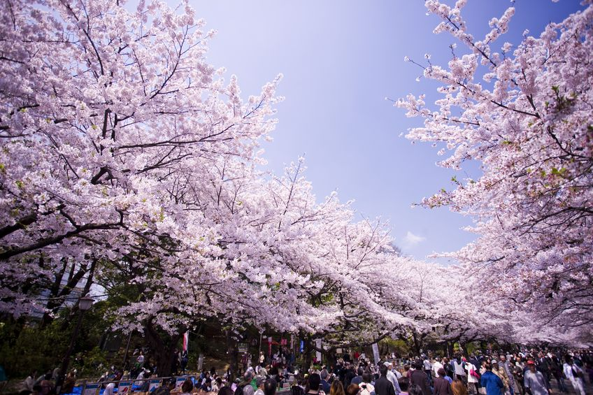 お花見は日本独自の文化についてのトリビア
