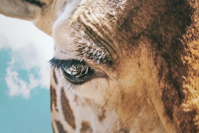 キリンのまつ毛が長い理由についてのトリビア