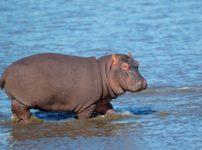 カバは泳げないが陸では速いという雑学