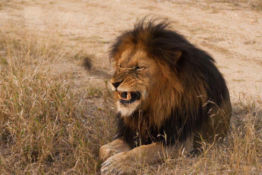 弱肉強食。ライオンの新ボスは群れの皆殺しから始めるのだよ…!というトリビアまとめ